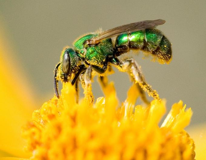Image of Sweat Bee